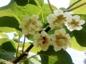 红心猕猴桃是转基因的吗?